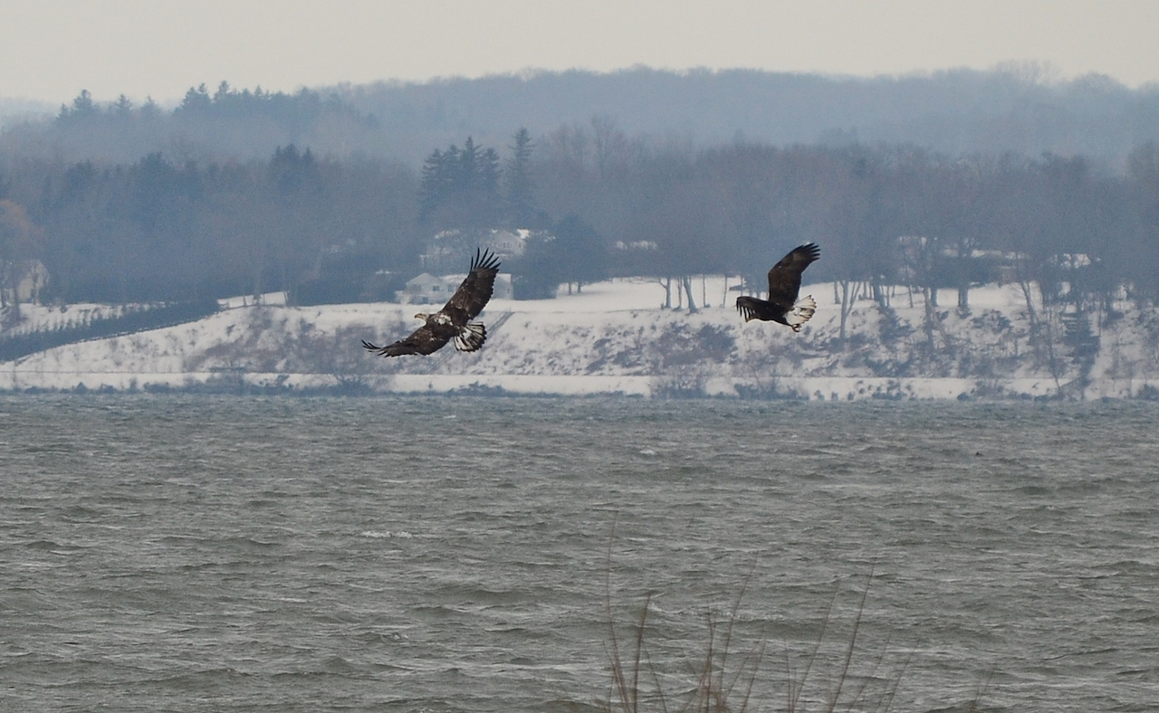 Bald Eagles making flyover near Seneca Lake State Park (photo)