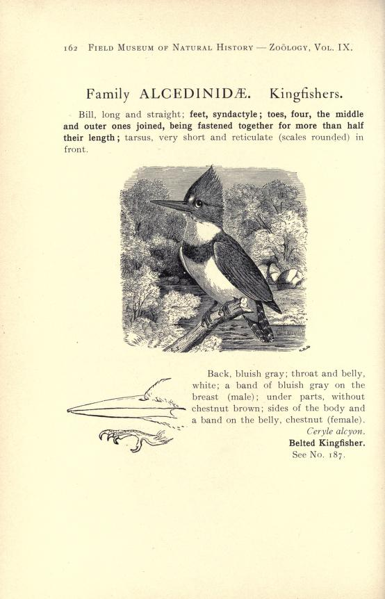 page image for family treatment of Alcedinidae, with text and black and white illustration of a male kingfisher perched on a branch over a stream in a forest
